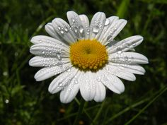 Morning dew on a daisy. South Branch, Kent County, New Brunswick, Canada