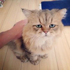 Funny pictures about Meet Foo Chan. Oh, and cool pics about Meet Foo Chan. Also, Meet Foo Chan. I Love Cats, Crazy Cats, Cute Cats, Funny Animal Pictures, Funny Animals, Cute Animals, Funny Dogs, Bizarre, Here Kitty Kitty