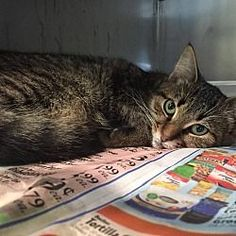 To be destroyed 092418 tekashi my animal id is 41974 i am a pictures of olive a domestic shorthair for adoption in bishopville sc who needs a loving home spiritdancerdesigns Images