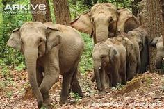 Resultado de imagen para asiatic elephant images