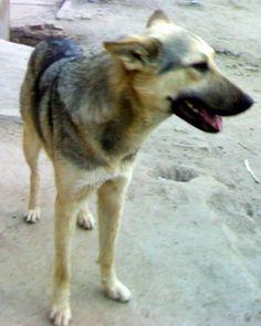Bhagyari Kutta (Pakistani Shepherd) Dog