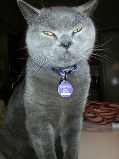 Rumpole Has Been Escaping, So He Got A New Purple Collar And Tag. He Is A Bad Cat.  Great tags for lost pets.....or are they?