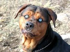 58 Best Rottweiler Mix Images In 2019 Rottweiler Mix Adorable