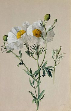 """Albert R. Valentien American art pottery decorator and botanical artist. Watercolor San Diego Natural History Museum Informations About """"Matilija Poppy: Romneya trichocalyx"""" by A"""