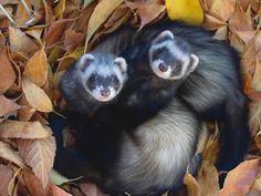 Fall ferrets...