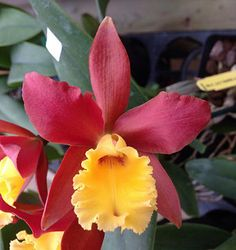 Rhyncattleanthe Lily Marie Alma's 'MGR' (Rhyncattleanthe Orange Nugget x Cattleya Jalapa) by Orchids by Hausermann Tropical Flowers, Flowers Nature, Exotic Flowers, Amazing Flowers, Beautiful Flowers, Orchids Garden, Orchid Plants, Orchid Flowers, Orange Orchid