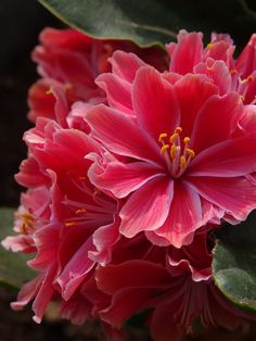 Lewisia cotyledon ... Lewisia are native to western North America, and one of the most treasured rock garden plants. They form a low, fleshy rosette of tough evergreen leaves, bearing large star-shaped flowers in late spring and early summer.