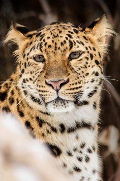 Amur Leopard Day Dreams
