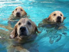 Proof That Seals Evolved From Golden Retrievers | The Daily Golden
