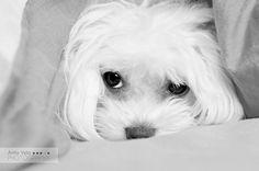 Mi dulce noviembre: diciembre 2009 #maltese #dog