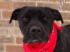 URGENT! TO BE DESTROYED SUN, 1/26/14- ONYX - A0989897 at Brooklyn Center MALE, BLACK, LABRADOR RETR / CANE CORSO, 2 years old, weighs 43 Lbs STRAY - STRAY WAIT, NO HOLD   Intake condition NONE Intake Date 01/18/2014, From NY 11212,  Medical Behavior Evaluation GREEN.  43 Lbs Onyx is such a beautiful dog, with perfect behavior. Please help to find him a forever home.