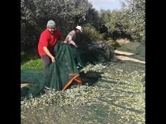 Join us at our yearly olive harvest in Zakros-Sitia/Crete Olive Harvest, Yearly, Olive Oil, Join, Crete