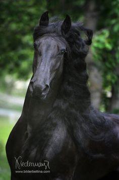 Friesian mare Sandra Fan´t Reidfjild