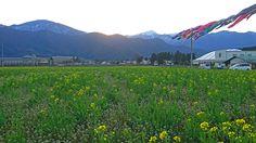 風になびく鯉のぼり・菜の花・ナズナの花・常念岳
