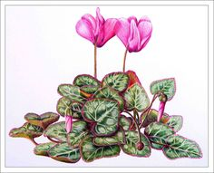 cyclamen painting by lesley newman