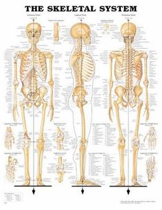 Focuses on bone marrow and the sections of the skeletal system, such as the axial skeletal system.