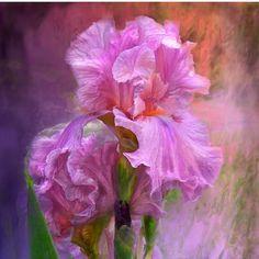 Iris - Pink Goddess designer chiffon scarf featuring the art of Carol Cavalaris.