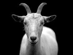 Cabra, Animal, Chifres, Preto E Branco