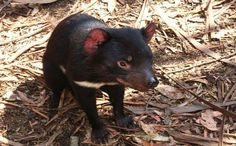 How Reintroducing the Tasmanian Devil Could Help Save Australia's Feral Cats