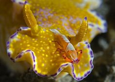 Shrimp hitching a ride on a nudibranch, Lembeh Strait, North Sulawesi, Indonesia - by Steven Kovacs