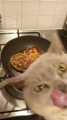 A Burmese Cat and Chicken Schnitzel Cute Little Animals, Cute Funny Animals, Cute Cats, Funny Cats, Meme Chat, Gatos Cool, Photo Chat, Pets 3, Cat Aesthetic
