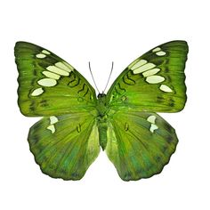 Green butterfly (Grand Duchess, Euthalia patala)