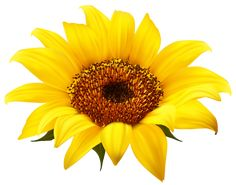 sunflower border clip art sunflowers clip art images sunflowers rh pinterest com sunflower clip art black and white sunflower clip art free