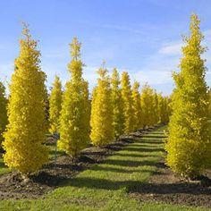 Klehm's Song Sparrow Farm and Nursery--Woody Plants--Ginkgo biloba Gold Spire- Vibrant, beautiful trees!