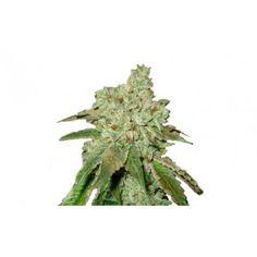 Semillas de marihuana Orbital Kush feminizada de Sputnik Seeds al mejor precio…