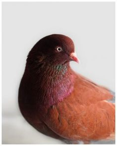 Pigeon Photograph, Bird, Brown, Pink, Teal, Nature, Animal Art, Fine Art Photography by QuinnImagery for $24.00