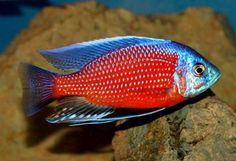 Cichlid Aquarium, Cichlid Fish, Malawi Cichlids, African Cichlids, Colorful Animals, Colorful Fish, Tropical Fish Aquarium, Fish Breeding, Pet Fish