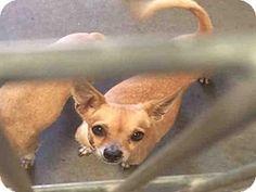 *SENIOR* Phoenix, AZ - Chihuahua Mix. Meet NILE, a dog for adoption. Maricopa County ACC - West Shelter http://www.adoptapet.com/pet/16096663-phoenix-arizona-chihuahua-mix