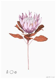 King Protea Limited Edition Giclee Print Giclee print on a heavyweight smooth matte Photo Rag, Acid Free, archival museum grade stock with a weight of 188 Gsm Free shippin Botanical Drawings, Botanical Prints, Protea Flower, Protea Art, King Protea, Australian Native Flowers, Plant Illustration, Floral Illustrations, Art Plastique