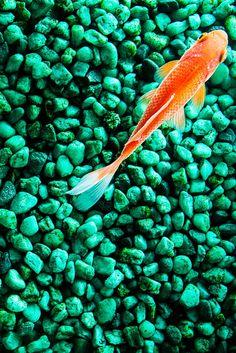 lightsaswaves, hippie takeover, koi, japan, japanese fish, fish pond, fish, aqua, marine, aqua marine, turquoise