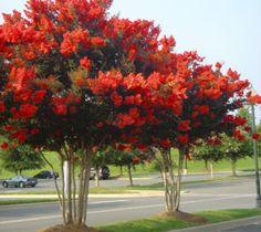 Red Rocket Crape Myrtle Tree