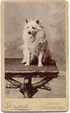 Vintage photo, fluffy white spitz dog