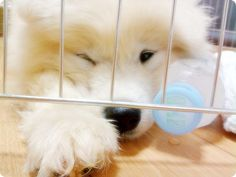 samoyed puppies are too cute for words