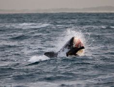 Dinner in the 'Ring of Death': Breathtaking pictures of Great White sharks bursting from the sea to pick off seals