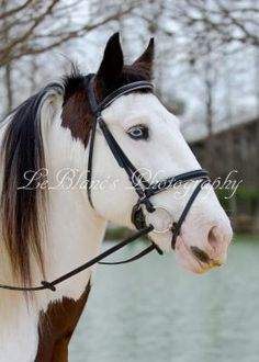 Mariah's Boon, Drum Horse stallion. A Drum horse is a cross between a Vanner and a Shire or Clydesdale.