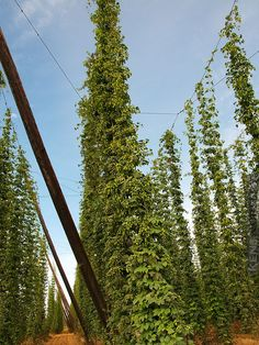 REAL Beer, Hops Plant Humulus Lupulus Centennial #HPO-CAS