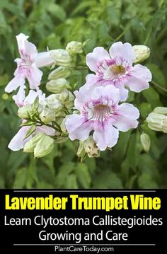 Lavender Trumpet Vine (Clytostoma Callistegioides) a fast-growing plant for trellises, and other structures. Climbing Plants Fast Growing, Anthurium Care, Kill Weeds Naturally, Small Backyard Landscaping, Backyard Patio, Landscaping Ideas, Evergreen Vines, Types Of Succulents, Gardening Tips