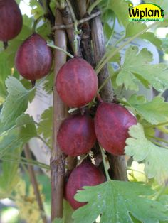 Ribes uva-crispa 'Captivator', Krusbär. Stora röda bär.  Tagglös sort.  Mjuk smak.  Mognar i juli.