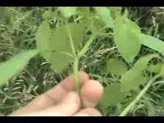 Jewelweed: Natures Poison Ivy Herbal Remedy - YouTube Supposed to be good against Stinging Nettle too.
