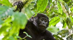 Bitte unterschreiben: Keine Teeplantage beim Gorilla-Nationalpark - Ein junger Berggorilla klettert im Bwindi Nationalpark in Uganda in einem Baum