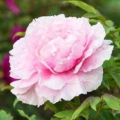Tree Peony 'Hana Kisoi' ('Floral Rivalry')