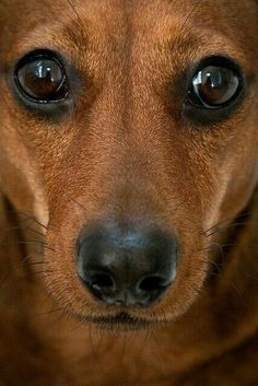 This looks just like my Ryleigh - 5 year old chiweenee #dachshund