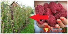 Správne vysadenie a strihanie – to sú dve základné podmienky na to, aby sme mohli získať bohatú úrodu sladkých malín. Naučte sa tento postup a podarí sa vám to každý rok. Ak vysadíte ona druhy malín – klasické aj remontantné, máte postarané o úrodu od jari až do prvých mrazov! Čo treba vedieť na začiatok?... Gardening, Fruit, Flowers, Plants, Advent, Lawn And Garden, Plant, Royal Icing Flowers, Flower