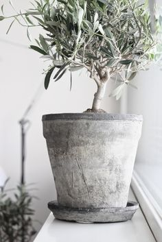 Guide To Growing Olive Trees Indoors-homesthetics (28)