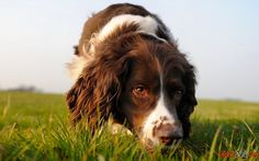 Photo best hunter of English Springer Spaniel Springer Spaniel Puppies, English Springer Spaniel, Really Cute Puppies, Cute Dogs, Work With Animals, Cute Animals, Dog Body Language, Dog Breed Info, Dog Nose