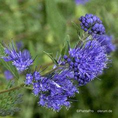 Bartblume, Caryopteris 'Heavenly Blue': Amazon.de: Garten